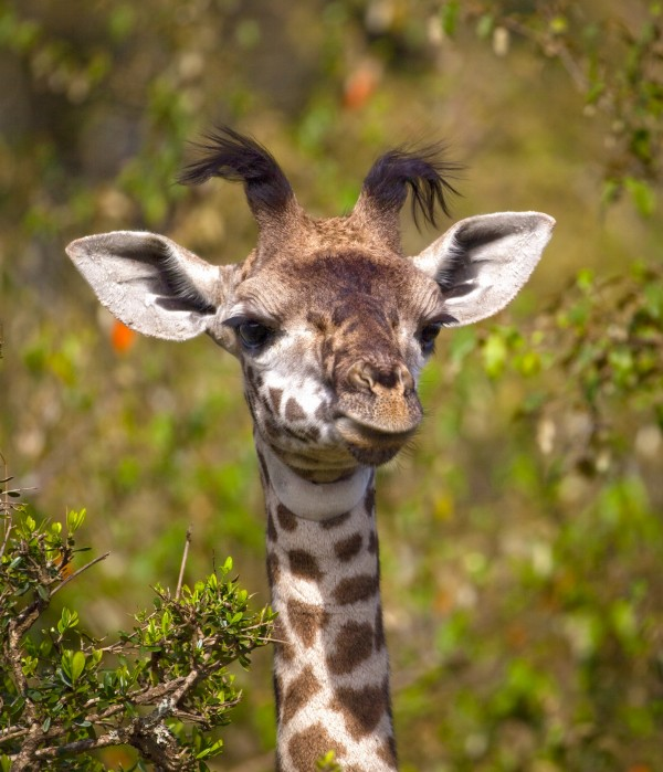 Adorable Baby Giraffe Looking At Viewer
