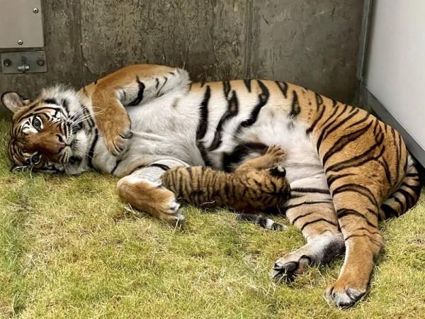 Tulsa Zoo Tiger Cub