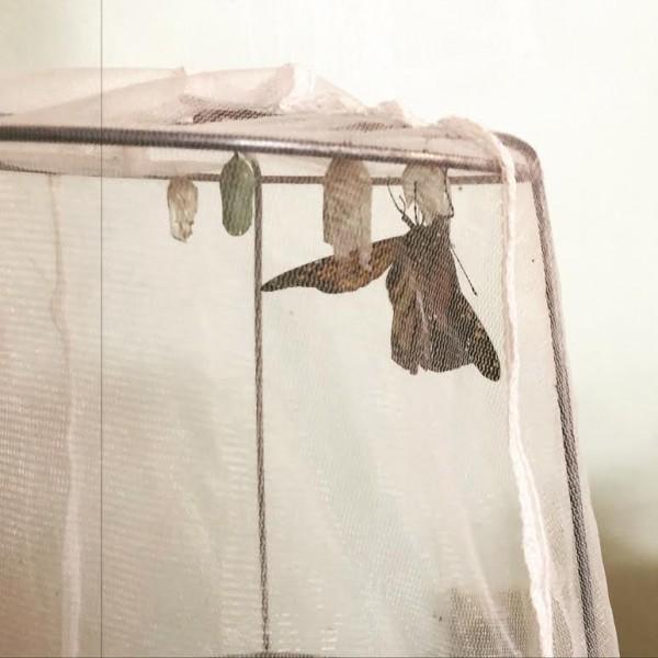 Butterfly Hatching Mak