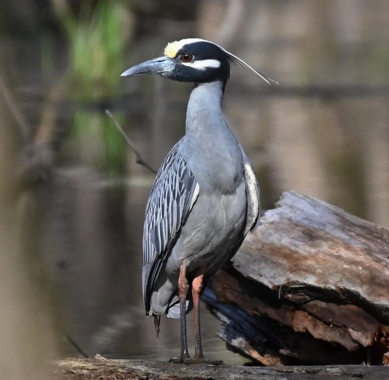 Glensmithyellowcrowned Night Heron